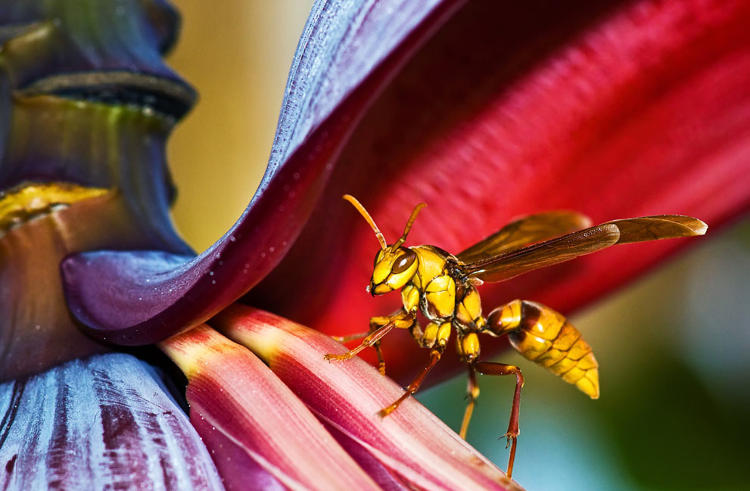 <p>A giant wasp in the U.S.</p>