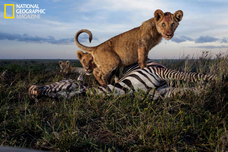 <p>Cubs of the Simba East pride: too young to kill but old enough to crave meat. Adult females, and sometimes males, do the hunting. Zebras and wildebeests rank high as chosen prey in the rainy season.</p>