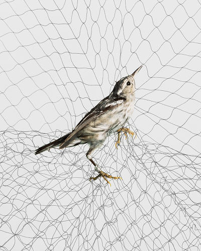 <p>Todd Forsgren captures images of birds caught in research apparatuses called &quot;mist nets.&quot; Here, a Black-and-white Warbler (Mniotilta varia), 2009.</p>