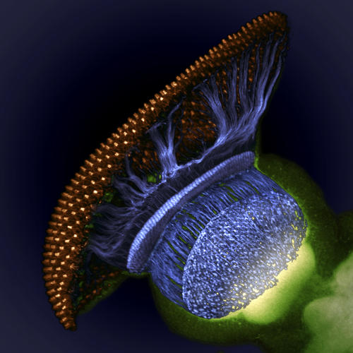 <p>Here's a photo of the pupil of a fruit fly as it's growing by Dr. W. Ryan Williamson, Howard Hughes Medical Institute (HHMI). It shows the retina (gold), photoreceptor axons (blue), and brain (green).</p>