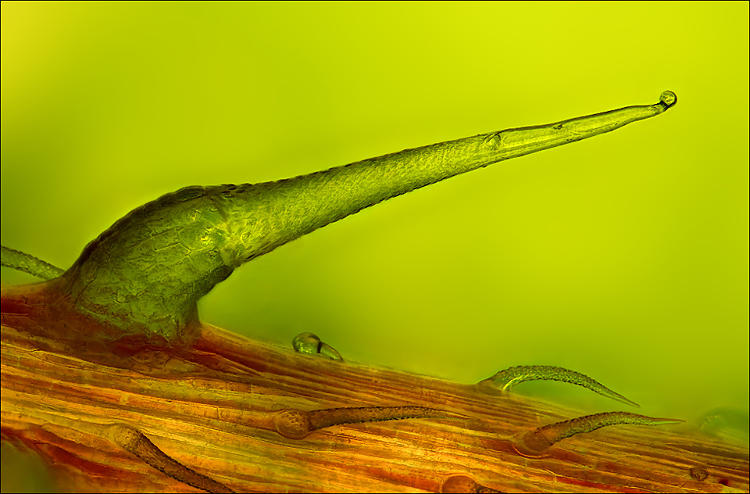<p>Stinging nettle trichome on a leaf vein by photographer Charles Krebs.</p>