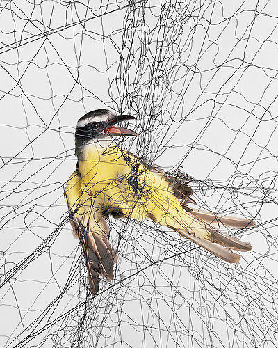 "<p>""I'm often surprised by how the personalities of different species of birds change when they're in the net or hand as opposed to flying free,"" the photographer says. &quot;It is a fragile and embarrassing moment before they disappear back into the woods, and into data.&quot;</p>"