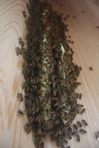 <p>The healthy (non-CCD) Silo City bee population, in its new home.</p>