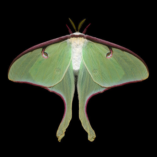 <p>&quot;Many of our moths are bigger and more colorful than our butterflies,&quot; des Rivières tells Co. Design.</p>