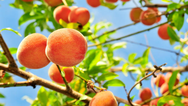 Could a delicious peach hold the secret to biofuel co for Peach tree designs