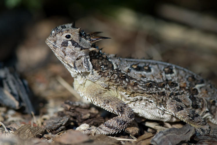 <p>The body of Texas horned lizards captures rainwater via splayed stance and interscalar channels on the skin. Photo by <a href=&quot;http://www.asknature.org/strategy/e56a43d8621c18f0cbce032ccac6dccc#changeTab&quot; target=&quot;_blank&quot;>Patrick Owen</a>.</p>