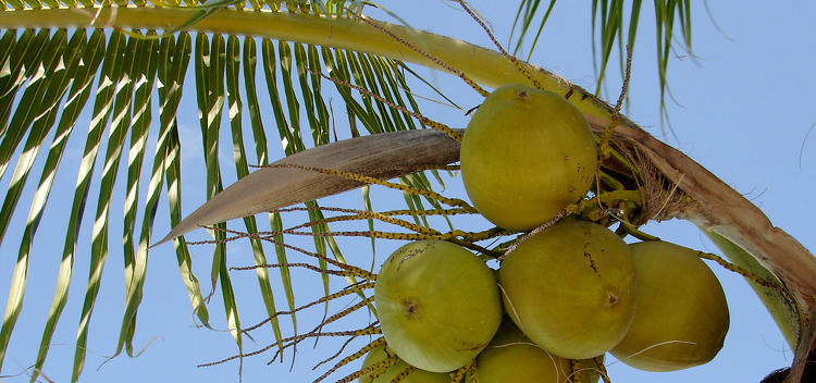 <p>Coconuts--and not much else--are plentiful on the islands of Tokelau. So <a href=&quot;http://www.fastcoexist.com/1678915/a-tiny-pacific-island-is-now-powered-by-coconuts&quot; target=&quot;_self&quot;>they're making good with what they have, and converting the entire region to solar and coconut biofuels.</a></p>