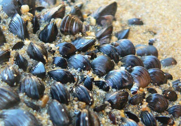 <p>In order for mussels to avoid being dinner, they need to find a rocky surface and hold on for dear life--a feat they accomplish by employing <a href=&quot;http://news.discovery.com/tech/mussels-iron-beard.html&quot;>a network of fibers around the perimeter of their bodies</a>, called byssus, for adhesion. The two-layered threads offer stretchiness and protection to the sea creatures. Synthetic versions of the byssus could one day be used to better anchor in place medical devices, like pacemakers, implanted in the body.</p><p>Image: <a href=&quot;http://www.flickr.com/photos/itspaulkelly/68623180/sizes/l/in/photostream/&quot; target=&quot;_blank&quot;>itspaulkelly</a><p>