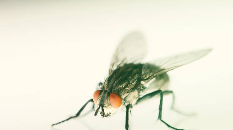 <p>No, this fly is not for lunch. But it could show up in the office <em>because</em> of your lunch.</p>