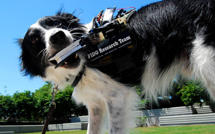 <p>Lead researcher Melody Jackson's border collie, Sky, tests one of the bite-based sensors the FIDO team designed for its pilot experiment. The researchers are experimenting with both an ovular and rectangular sensor.</p>