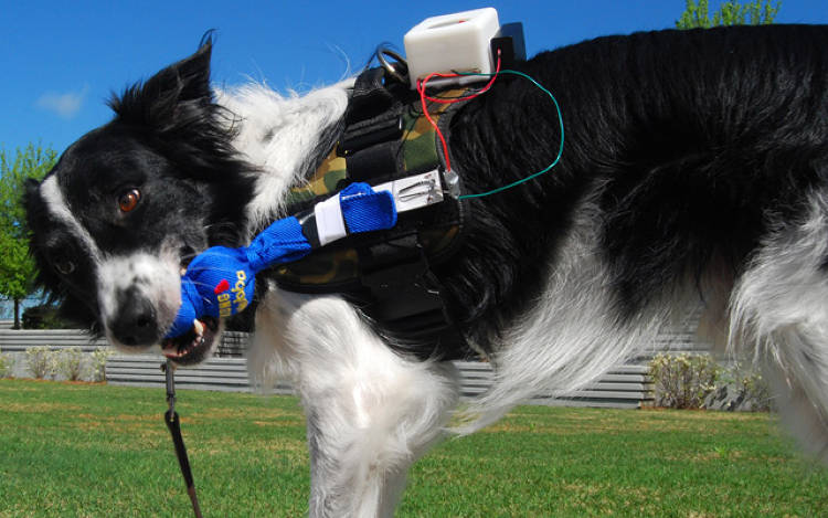 <p>In designing the vest's sensors, researcher Thad Starner says it was important to make the trigger sensation into one the dogs would enjoy--it's the difference between chewing a pencil and being forced to wear the device that holds your mouth open at the dentist's office.</p>