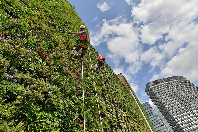 <p>In what could be a scene from a J.G. Ballard novel--only a much more colorful one--gardeners rappel down the side of a new green wall in London.</p>