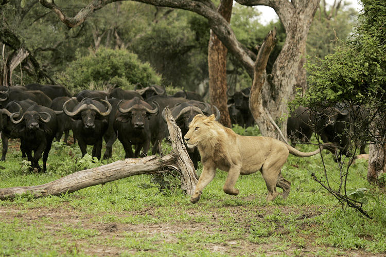 <p>An adolescent male lion is chased away by a herd of buffalo while attempting to hunt in the Okavango Delta.</p>