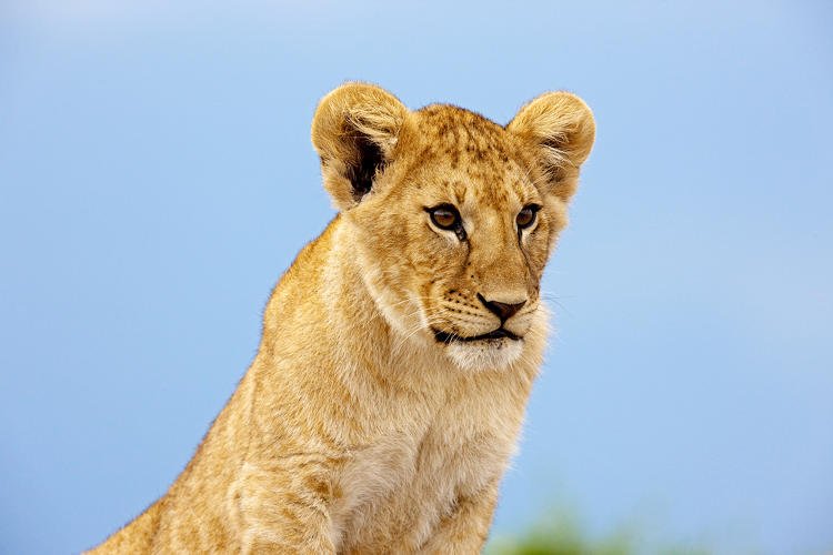 <p>A young male cub sitting high up on one of the rocky hills in the Masai Mara.  This cub is about five months old.</p>