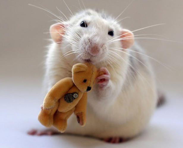 <p>Even the musophobic might have to admit these rats look pretty cute.</p>