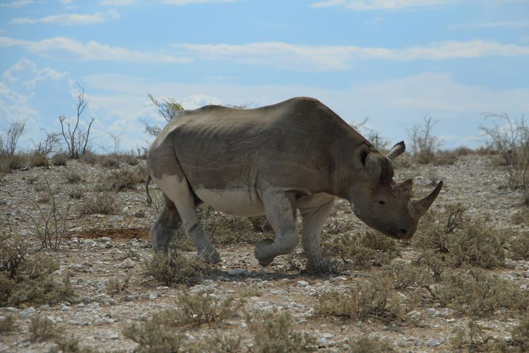 <p>A close encounter with an RFID chip-enabled rhino in the act of scent marking.</p>