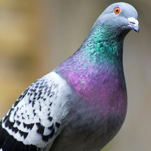 <p>Greek mathematician and philosopher Archytas is rumored to have created a steam-powered robot pigeon that could fly for up to 200 meters.</p>