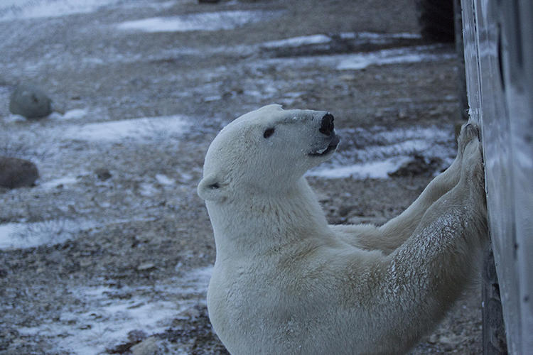 <p>In time for International Polar Bear Day, Google now has Street View imagery of Churchill and its polar bears, courtesy of a group of Google Maps employees who traveled through the tundra.</p>