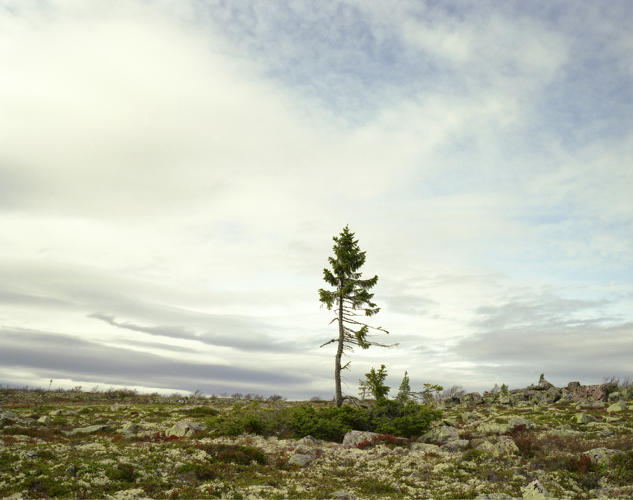 <p>This Swedish spruce is nearly 10,000 years old, but you can see the effects of the last 50 years of climate change in its new growth patterns.</p>