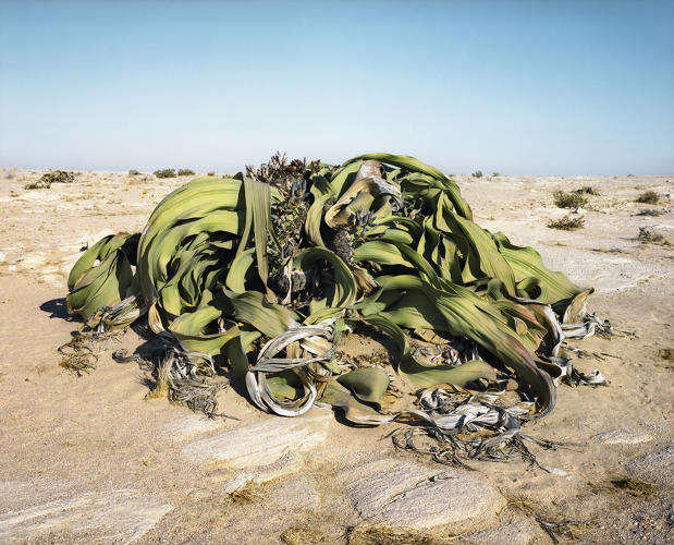 <p>Photographer Rachel Sussman has been on a nine-year quest to document the world's oldest living things before they're gone.</p>  <p>This is the 2,000-year-old welwistchia, a plant that lives only in parts of coastal Namibia and Angola. It has two leaves which it never sheds.</p>