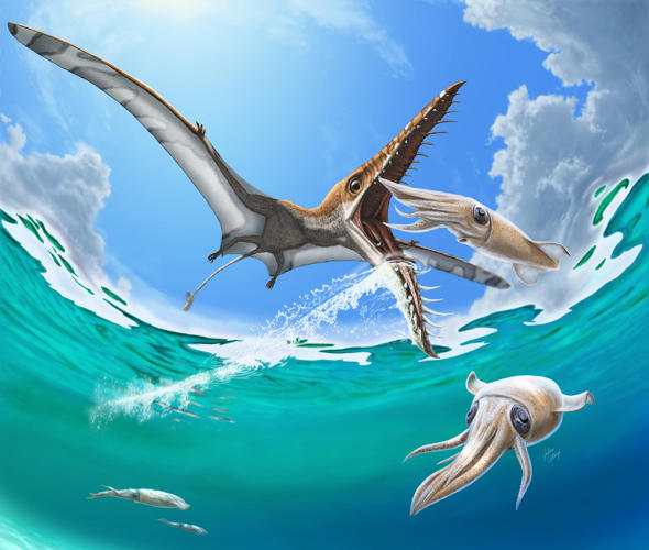 <p>This Rhamphorhynchus hypothetically feeding by gleaning squid from near the surface of the ocean, is based on discussions with palaeontologist, Dr. David Hone.</p>