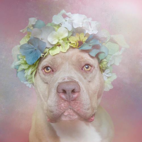 <p>These are pit bulls.</p>