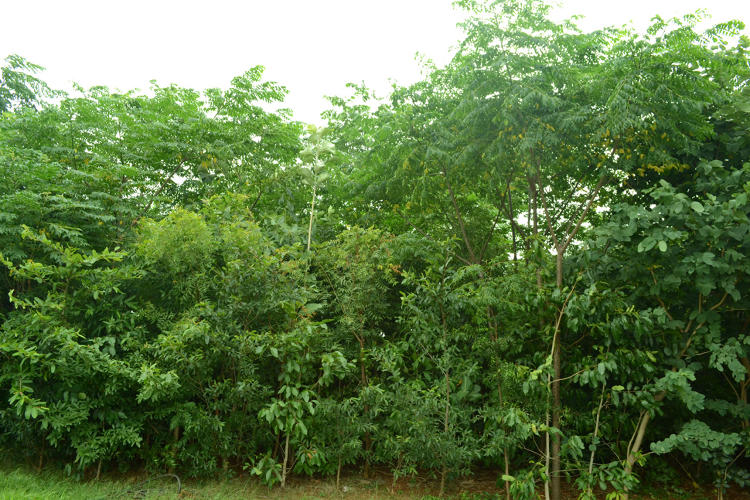<p>The methodology means a 300-tree forest can grow in an area the size of six parking spaces.</p>