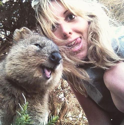Marsupial Quokka Meet The   Quokka    a