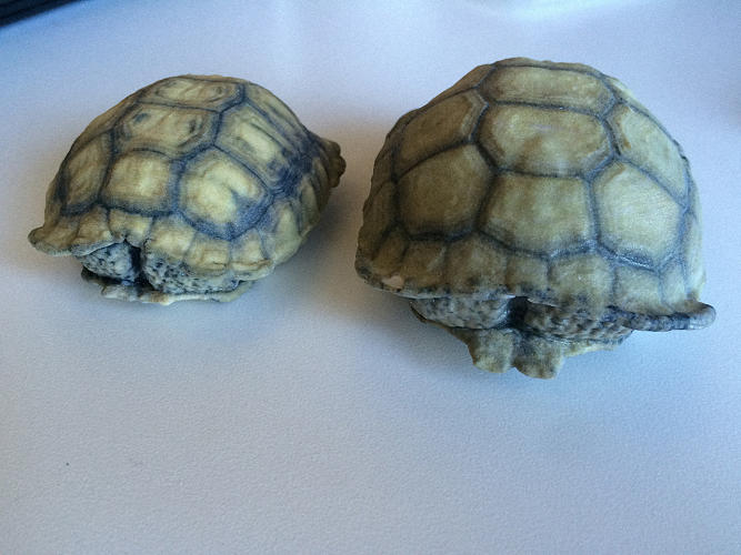 <p>Instead of trying to eliminate these predators, a team from Hardshell Labs, along with Tatjana Dzambazova of 3-D software company Autodesk, are giving the tortoises a better chance of survival.</p>