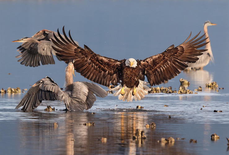 <p>Grand Prize Winner: Professional. Bald Eagle, Great Blue Heron. Bonnie Block/Audubon Photography Awards</p>