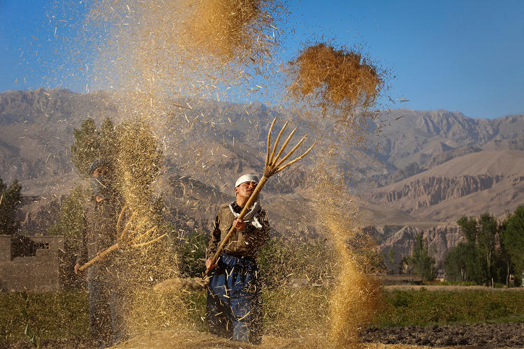 <p>Afghan farmers harvest a <strong>crop of wheat</strong> as the Fall approaches in Bamiyan.</p>