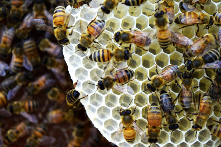 <p>Hive construction within the Synthetic Apiary environment</p>