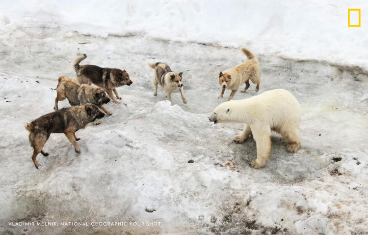 <p>I was on an expedition exploring Franz Josef Land archipelago. There was a polar station where people brought dogs as guards against polar bears.</p>