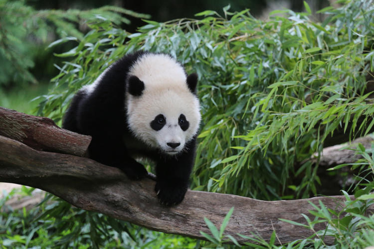 <p>A keeper and veterinarian from the zoo will travel along with the panda to keep her as safe and comfortable as possible.</p>