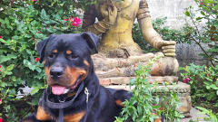 The Recommender: Cia Bernales, Web Producer And Owner Of Atticus, The Giant Rottweiler
