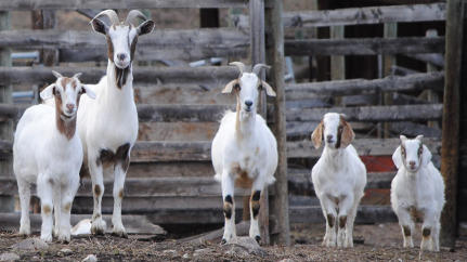 Detroit Ousts Weed-Eating Goats